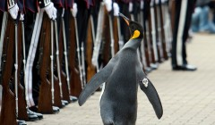 Penguin and Honorary Colonel-in-Chief of His Majesty The King's Guard of Norway, Nils Olav, is  promoted to a Knight  as the Royal Guardsmen honour  the world's most decorated Penguin at Edinburgh Zoo. 130 members of the Norwegian Guard assembled this morning to honour king penguin Olav.  Picture Michael Hughes/maverick